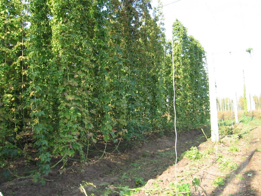 Производство хмеля в Чувашии увеличилось на 4,6%
